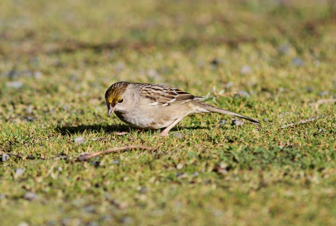Golden-crowned Sparrow hh3ff.JPG