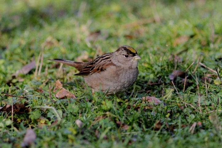 Golden-crowned Sparrow hhj3.JPG