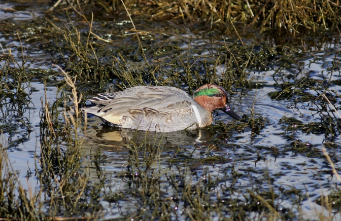 Green-winged Teal hh3khff.JPG