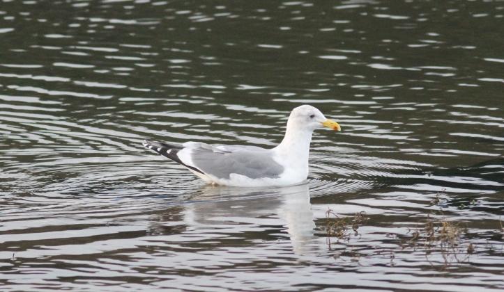 Herring Gull hgg3.JPG