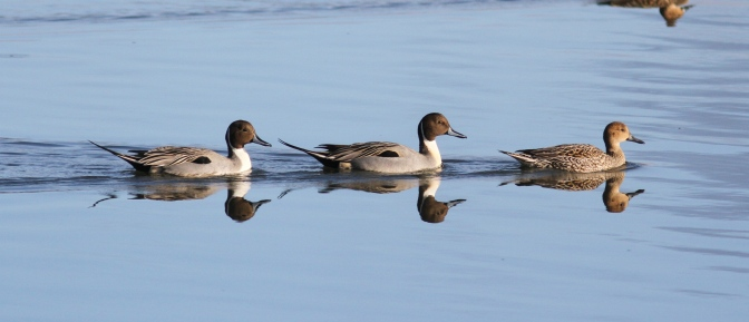 Northern Pintail g3gj3f