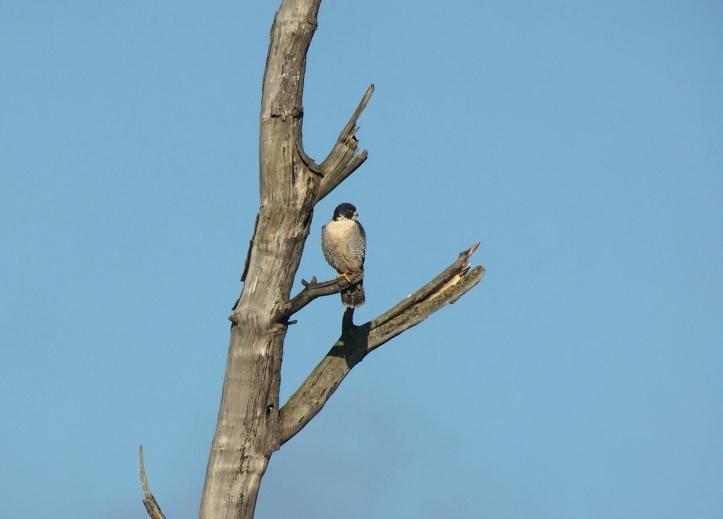 Peregrine Falcon gg3ff