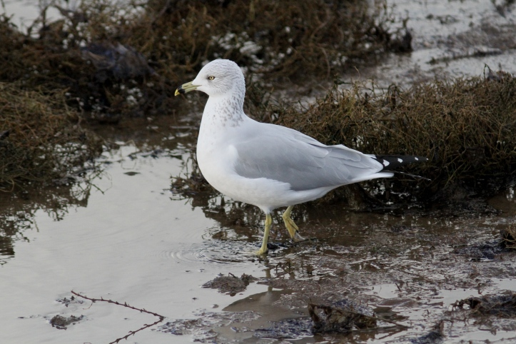 Ring-billed Gull hg3h3ff.JPG