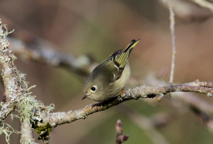 Ruby-crowned Kinglet hbk3.JPG