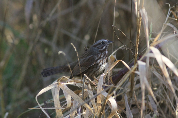Song Sparrow bhk3.JPG