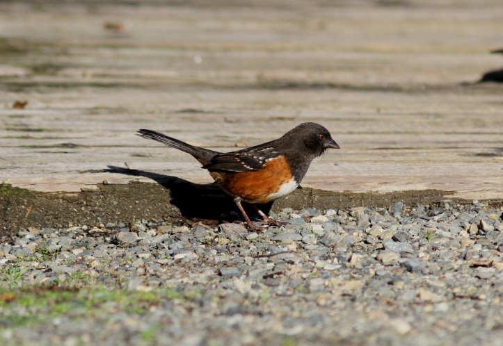 Spotted Towhee hh3.JPG