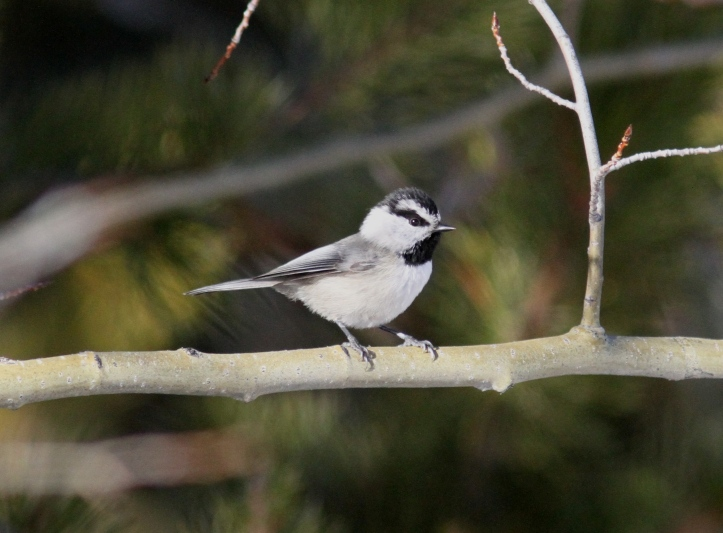Mountain Chickadee ghhj33.JPG
