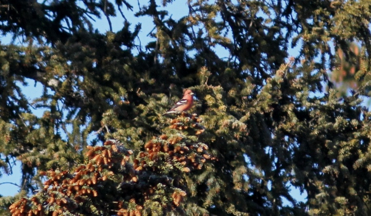 white-winged crossbill ghj2222