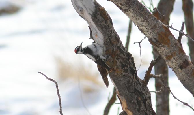Hairy Woodpecker hjj4