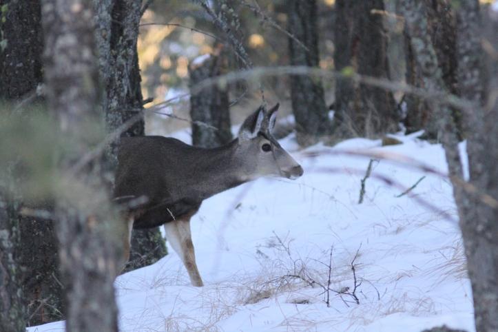 Mule Deer hjhkjk3