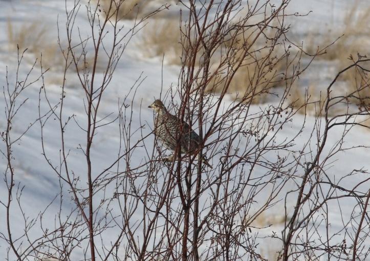 SHarp-tailed Grouse hhl3.JPG