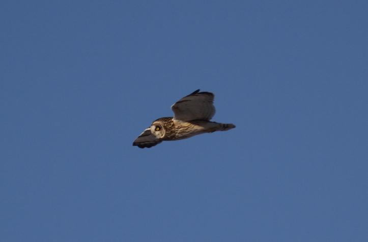 Short-eared Owl hhh3