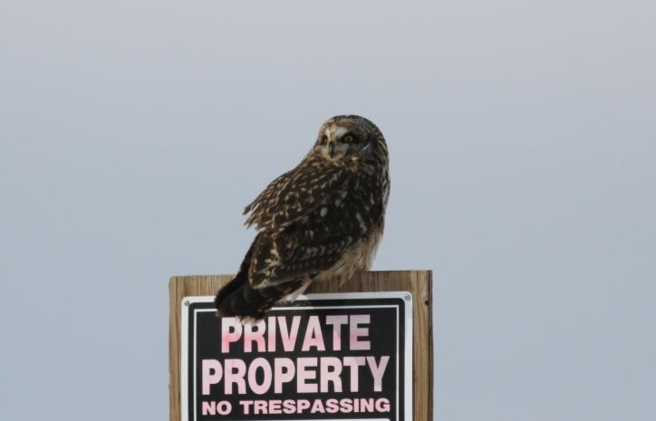Short-eared Owl hj3.JPG