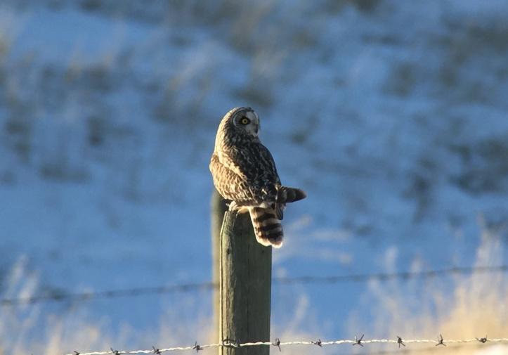 Short-eared Owl hkk3