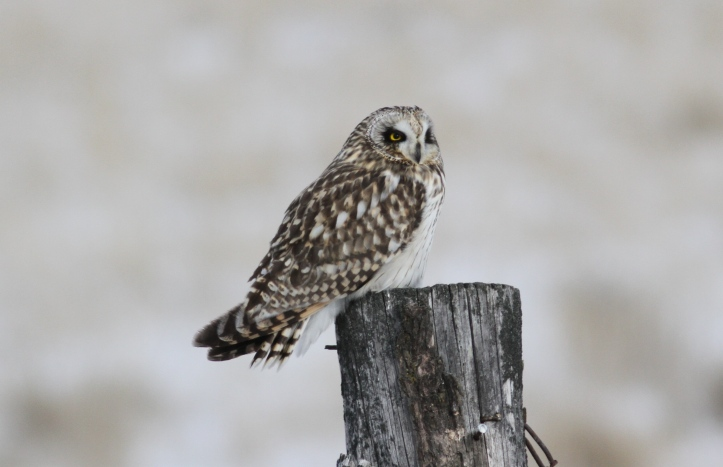 Short-eared Owl jk3.JPG