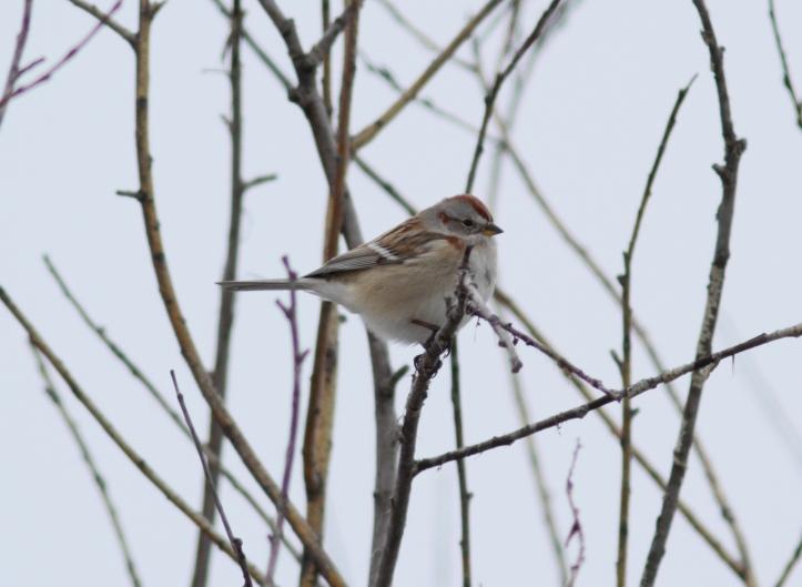 American Tree Sparrow ggg3.JPG