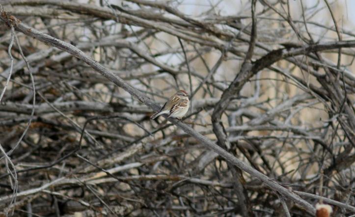 American Tree Sparrow hkh3ff.JPG