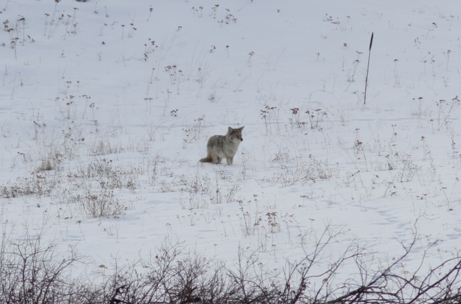 Coyote gjg3.JPG