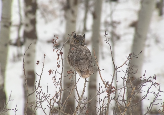Great Horned Owl kjkj33.JPG