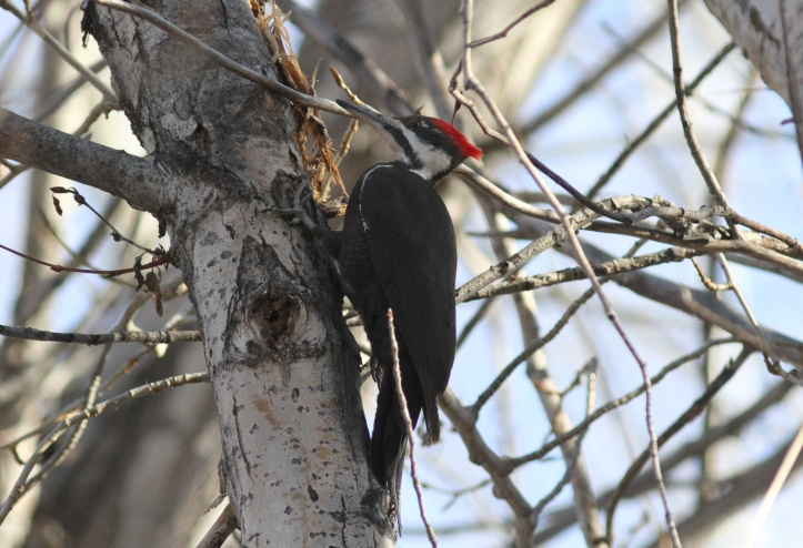 Pileated Woodpecker jj4g.JPG