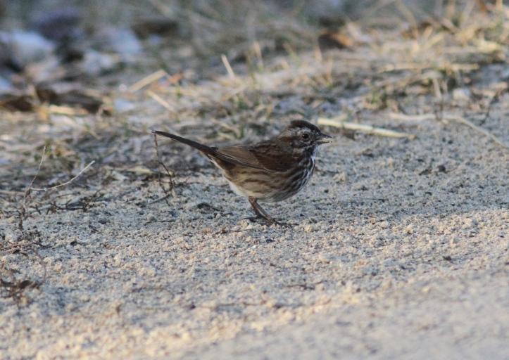 Song Sparrow vj3t.JPG