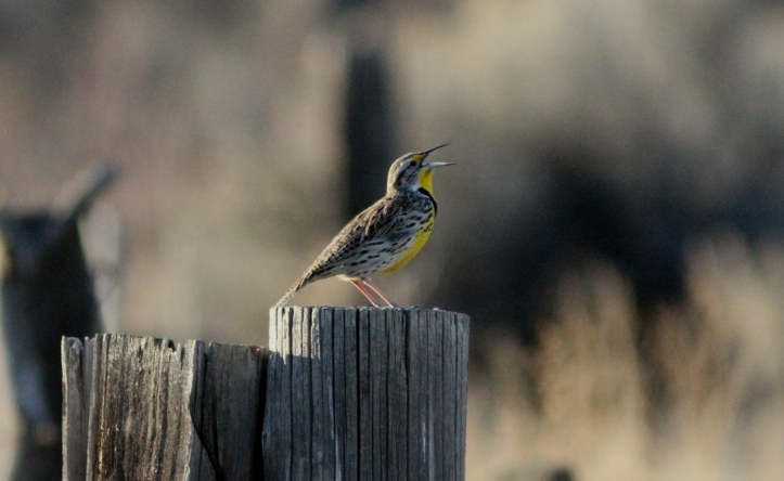 Western Meadowlark hj4gg.JPG