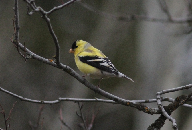 American Goldfinch gh33.JPG