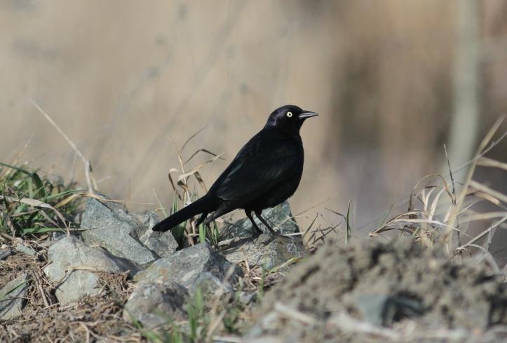 Brewer's Blackbird jkh3.JPG