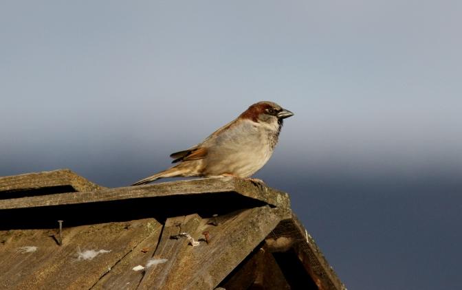 House Sparrow jh3.JPG