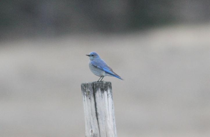 Mountain Bluebird ll3.JPG