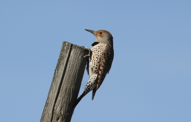 Northern Flicker h4g.JPG