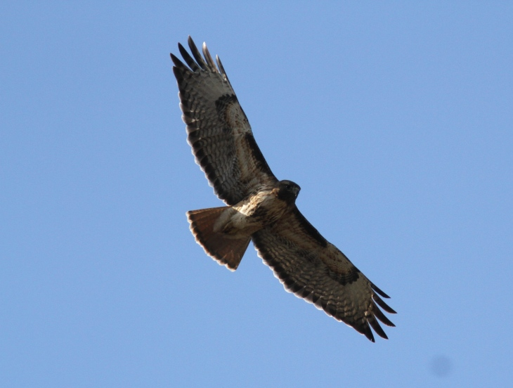Red-tailed Hawk jbk3rf.JPG