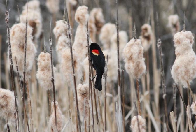 red-winged Blackbird ghkj3.JPG