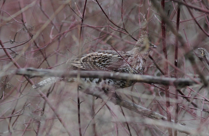 Ruffed Grouse ghh3.JPG