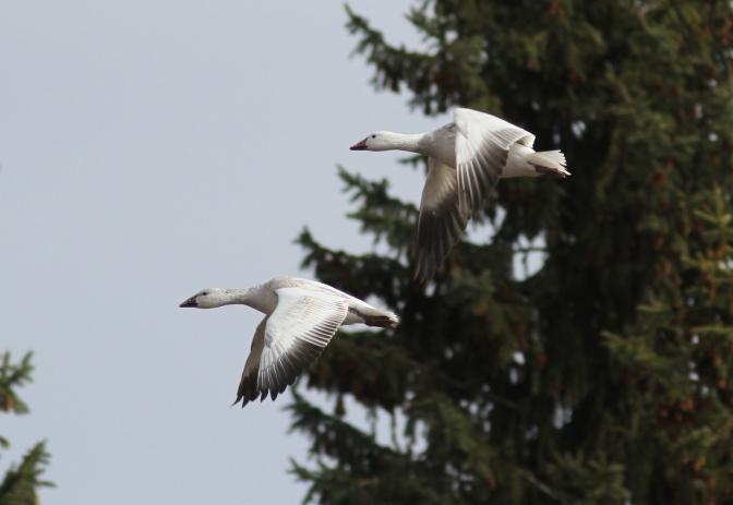 Snow Goose 21 (1).JPG