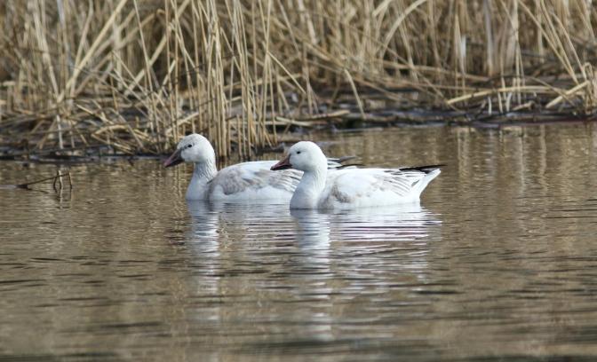 Snow Goose 3 (2)