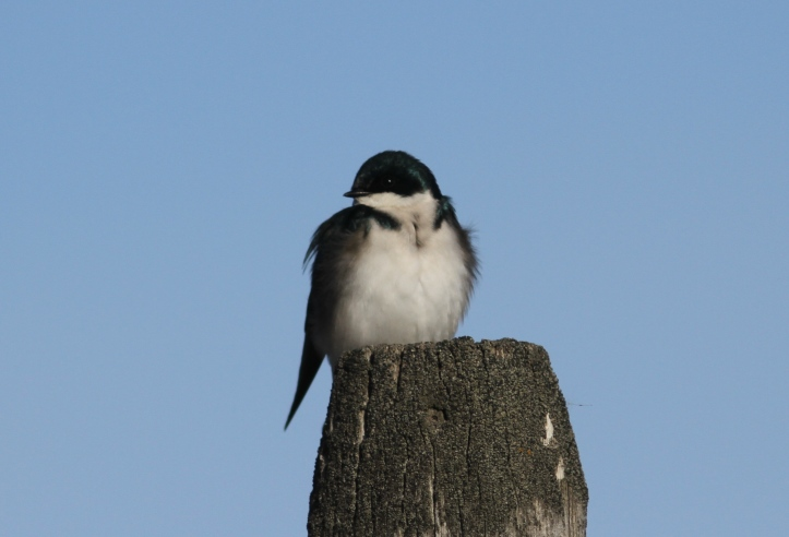 Tree Swallow khkh3.JPG