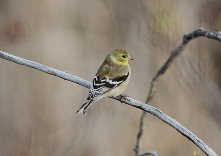 American Goldfinch fd33.JPG