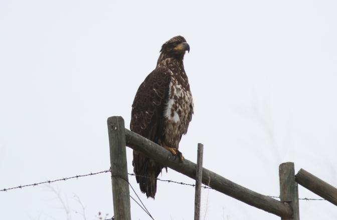 Bald Eagle jhkjhkj3.JPG