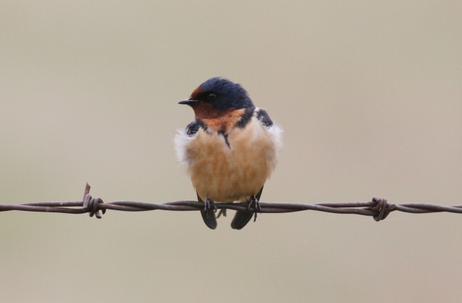 Barn Swallow kjhkj3.JPG