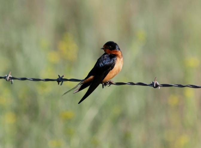 Barn Swallow lkhhj3.JPG