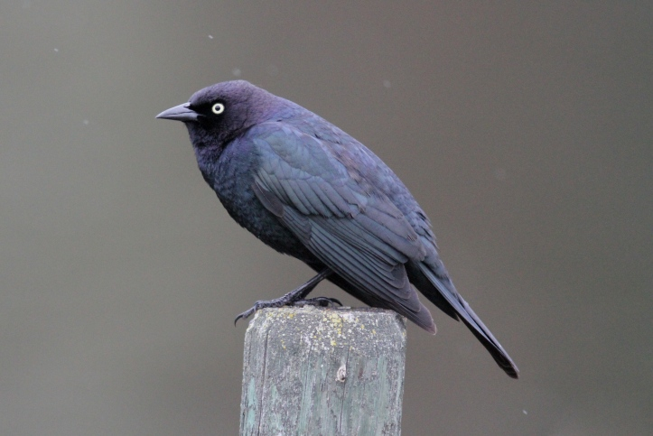 Brewer's Blackbird hfggf3.JPG