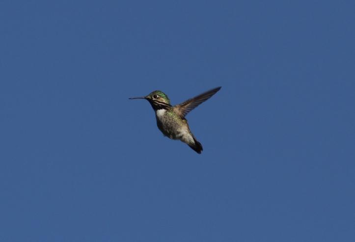 Calliope Hummingbird jjg3