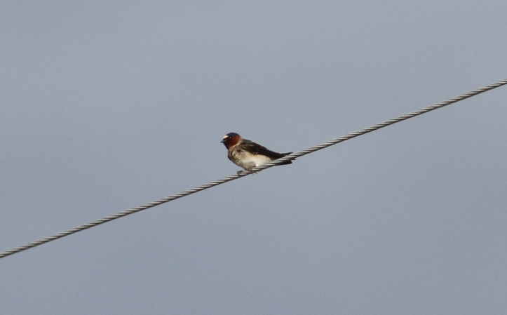 Cliff Swallow hjkj3