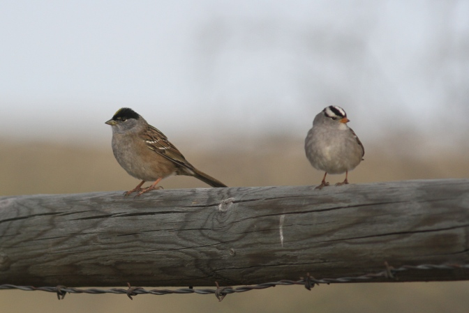 Golden-crowned Sparrow hgh3.JPG