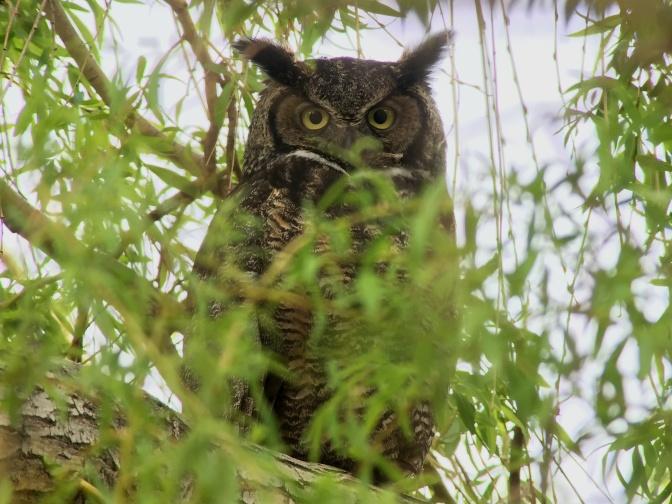 Great Horned Owl hjj3