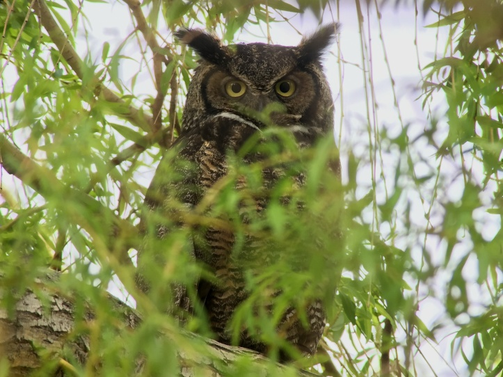 Great Horned Owl hjj3