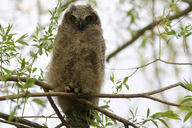Great Horned Owl k3f.JPG