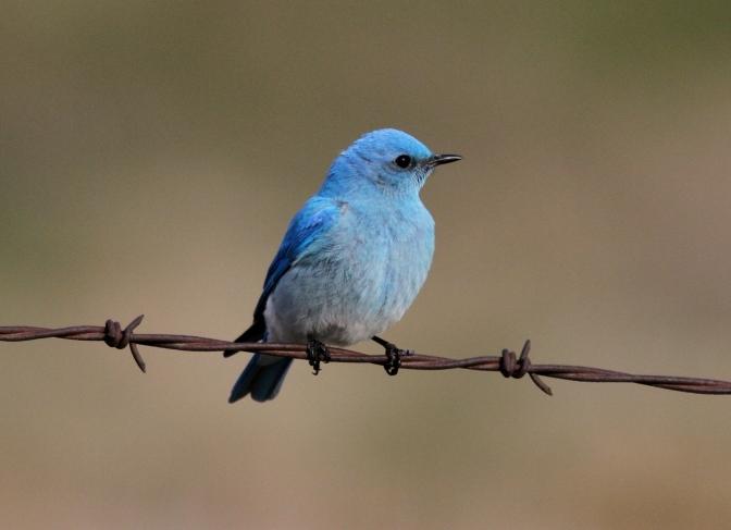Mountain Bluebird ghk3