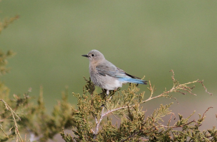Mountain Bluebird khfg3